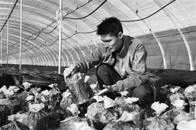 汪清县黑木耳生产基地,农户在收割黑木耳