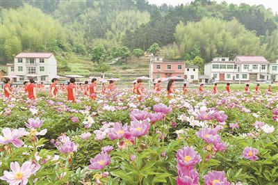 芍药花海成为吴峰村一道特色景观。摄影 钱德星