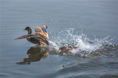 春色宜人,西湖水暖,一条大鱼追逐野鸭,溅起水花。 首席记者 陈中秋 摄