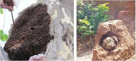 树木和墙体中的台湾乳白蚁巢