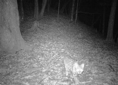 浙江九龙山国家级自然保护区 首次拍到豹猫