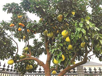村民王佳鹏家中庭院的柚子树。(陈章升摄)