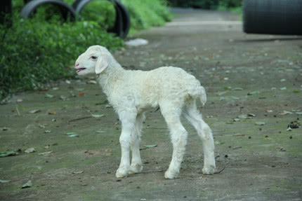 图为出生三天的冷冻胚胎湖羊羔羊