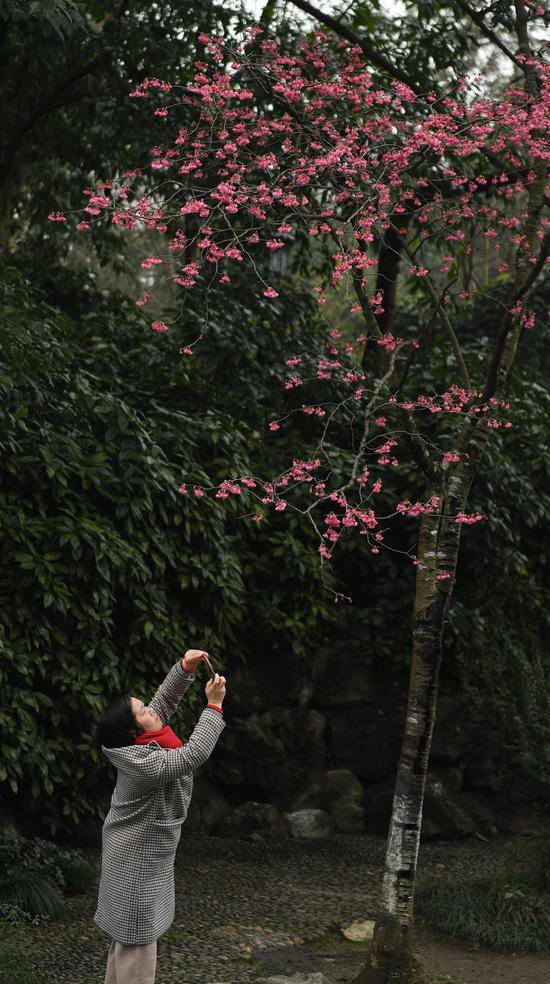 图为:游人在樱花树下拍照。