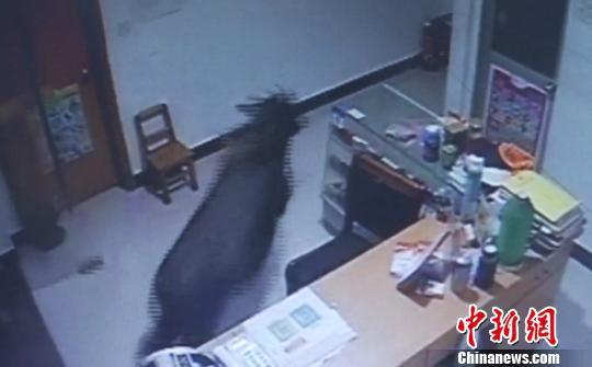 图为:视频监控记录下的鬣羚。三门县委宣传部提供
