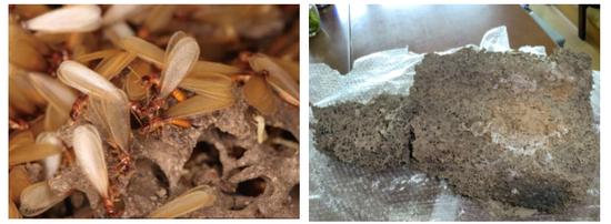 家白蚁有翅成虫(左)、家白蚁蚁巢(右)