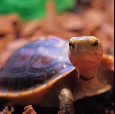 背部棕红色,具一浅棕色脊棱。腹部棕黑色,其四周及背甲腹缘黄色。