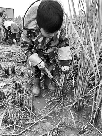 幼儿园组织小朋友割水稻