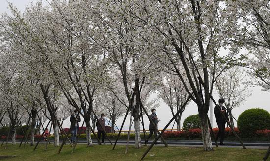 市民在樱花树下散步。王刚 摄