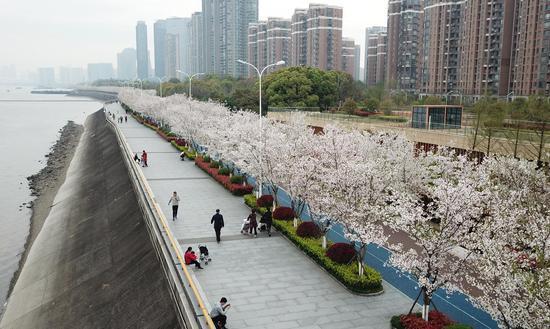 钱塘江畔的樱花盛放。王刚 摄