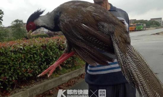 台州1保安从猛禽口中救下白鹇 下午放生晚上又回来了