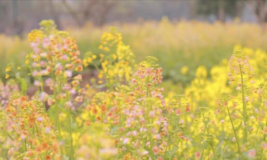 这个春天 浙江这片彩色油菜花田可以坐公交车直达