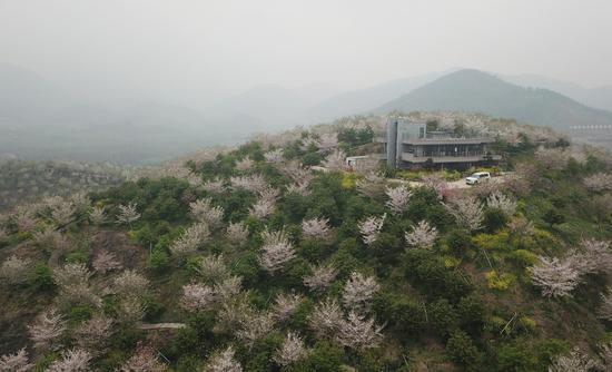 图为:航拍盛开的樱花。王刚 摄