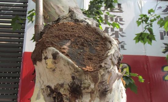 被家白蚁危害的梧桐树