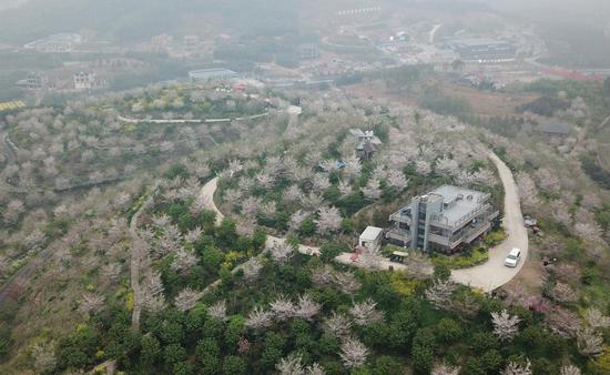 图为:杭州一景区樱花开满山头(航拍)。王刚 摄