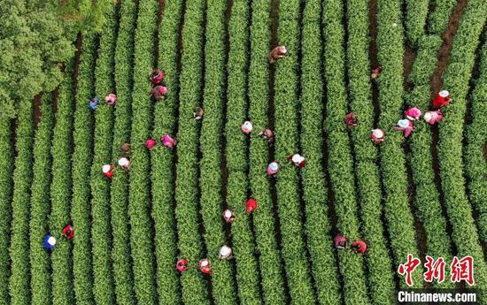 采茶工零星点缀葱郁茶山 张卉 摄