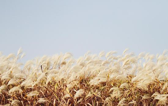 图为:随风摇曳的芦花。杨作英 摄