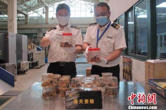 杭州海关关员清点查获的甲虫。杭州海关供图