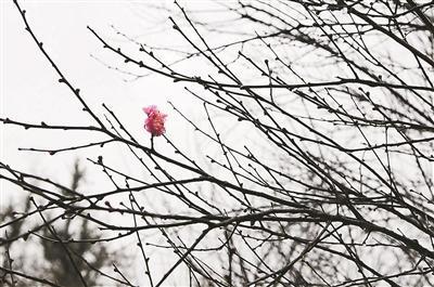 4日,灵峰梅花开花啦!一朵孤梅傲立枝头,楚楚动人。