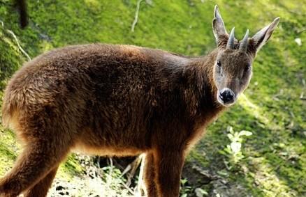 丽水男子山里偷鬣羚以为是野山羊 盘点浙江珍稀动物