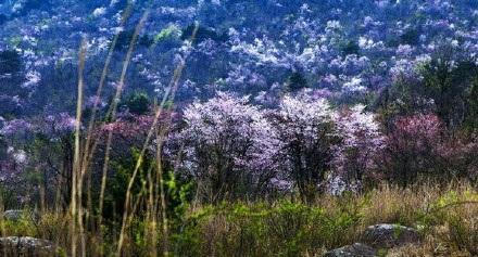 3月中下旬的浙西天池,野樱花开起来漫山遍野。