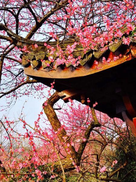 图为:古亭前盛开的梅花。 陈福(通讯员) 摄