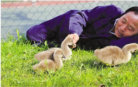 王化帮和他的天鹅宝宝