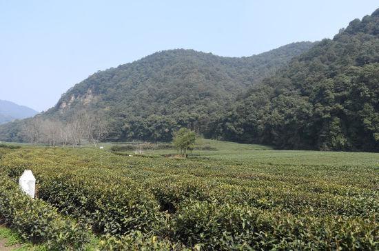 图为:梅家坞龙井茶园。王刚 摄