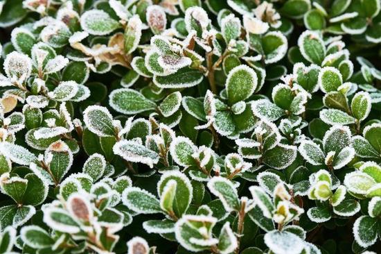 西湖景区的草坪和植物上,出现了浓霜。 拍友 里尔 摄