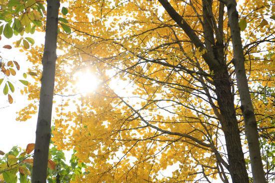 图为:阳光下的银杏枝头皆是金黄色。王远摄