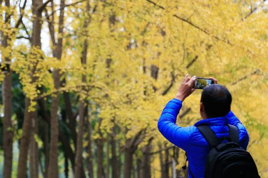 图为:金黄的银杏吸引游客驻足拍摄。王远摄