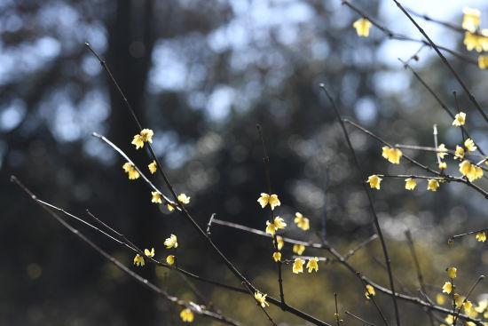 图为:植物园内的腊梅正在盛开。 王远 摄