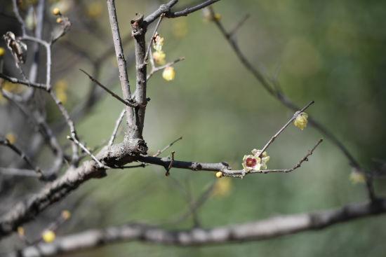 图为:一种紫蕊品种腊梅正在盛开。 王远 摄