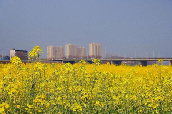 《又到油菜花开时》小雨点摄于金华河盘桥