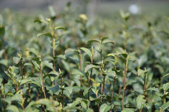 图为:龙井茶树纷纷长出新芽。王刚 摄