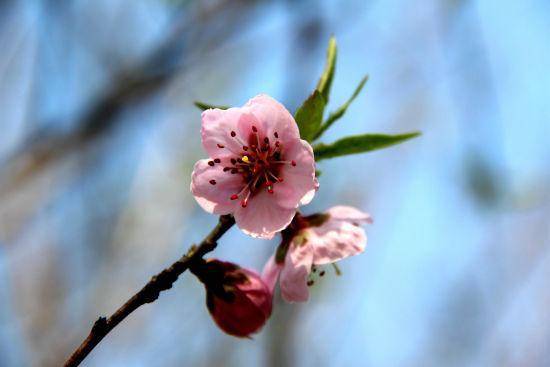 图为:皋亭山景区内桃花盛开。 柱子 摄