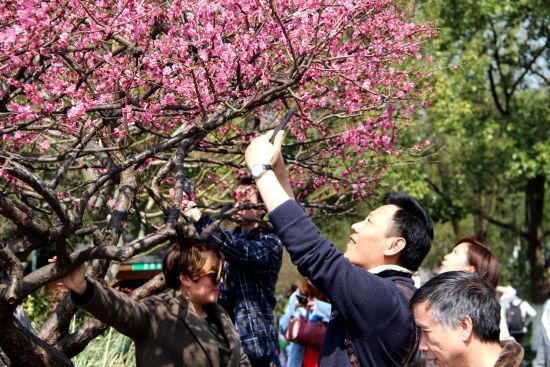 图为:市民们正在拍摄红梅。 柱子 摄