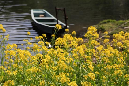 图为:杭州湘湖盛开的油菜花。 颜石斌(通讯员) 摄