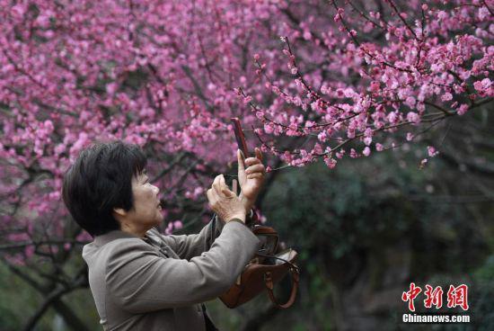 两位游客正在欣赏盛开的红梅。 中新社记者 王刚 摄