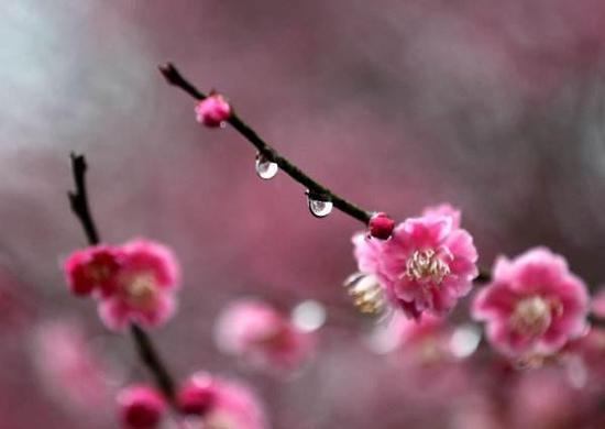 梅花11个品种群在哪看 最懂梅花的人告诉你梅花宝典