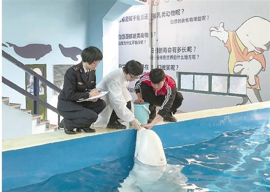 杭州极地海洋馆首次迎来俄籍白鲸 肤色白皙颜值最高