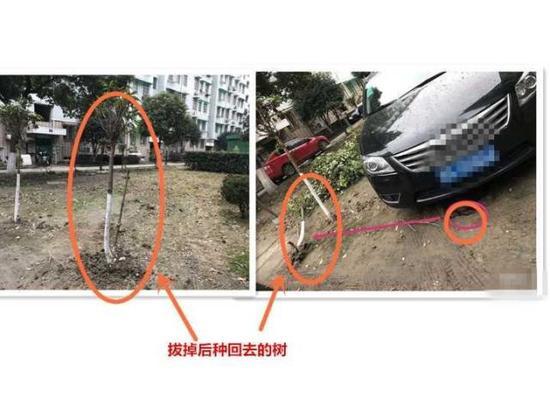▲拔掉后被种回去的树