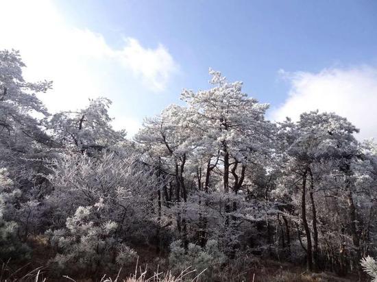 蓝天下的松树群