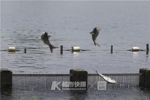 西湖的鱼飞起来了!