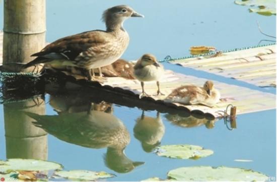 杭州西湖爱心桥温暖上线 水鸟也知道杭州对它们好