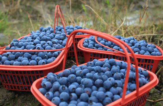 北仑果园的蓝莓熟了 蓝莓的品种升级产量明显提高
