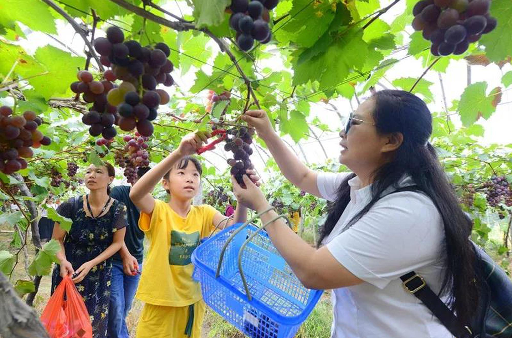 温州摘葡萄的攻略来了