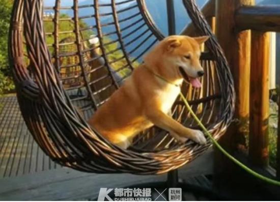图中柴犬为本案中被毒杀的宠物狗toby