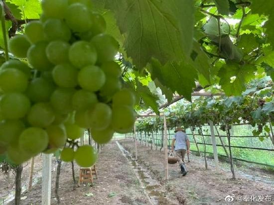 奉化葡萄进入采收旺季 采摘期预计持续到9月份