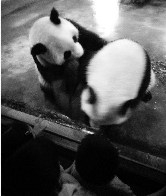 最萌龙凤胎大熊猫周日回成都 杭州动物园熊猫馆换新主人(图)